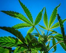 Food and Drug Administration (FDA) has not recognized or approved the marijuana plant as medicine.