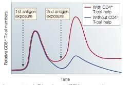 Primary CD8 + cell response does not require CD4 + T cell