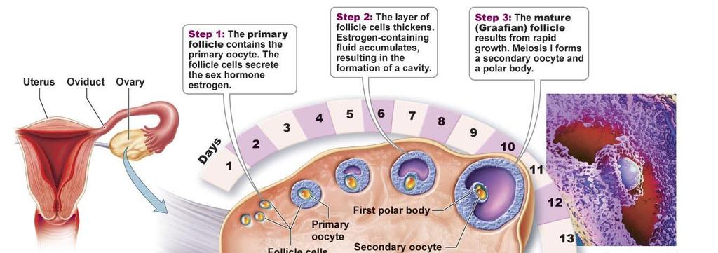Female Reproductive System 1. Ovaries - produce eggs (ova) and female sex hormones estrogen and progesterone Oogenesis The cells that will become ova (eggs) are called oocytes.