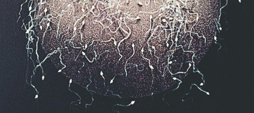 Fertilization and Pregnancy Fertilization - occurs when the sperm enters the oocyte.