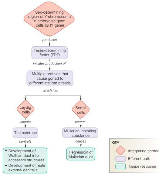 Pathway for Sexual Development: Review for Genes to