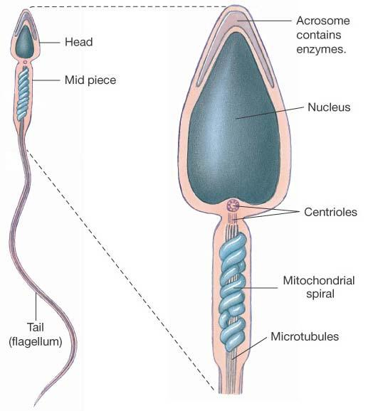 Spermatozoa Structure and Functions in Review Head Acrosome: Nucleus: Midpiece