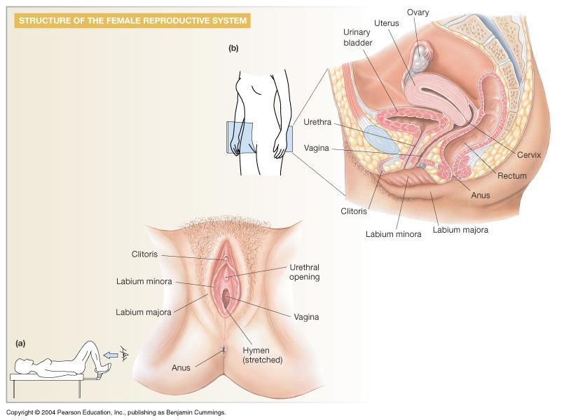 Female Reproductive Anatomy and Physiology: