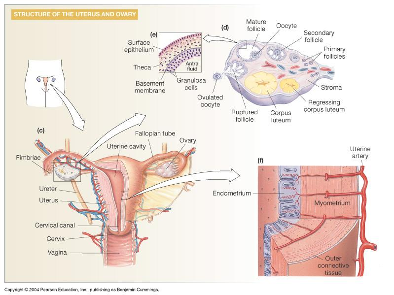 Ovary: Details of Histology & Physiology
