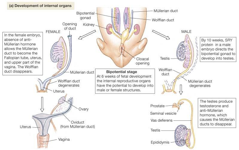 Sexual Differentiation: Internal Embryonic