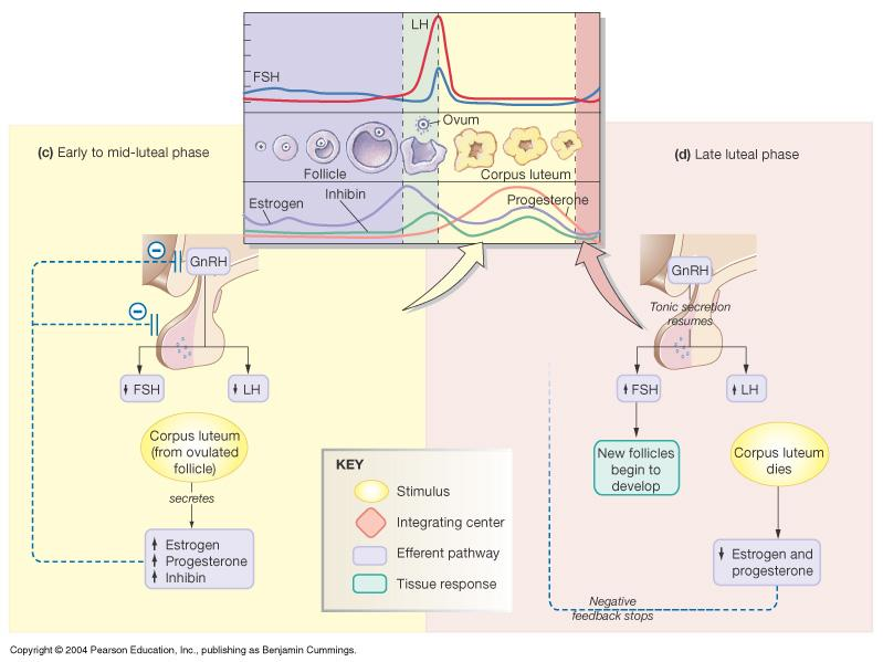 Endocrine Control of Menstrual Cycle: Luteal phase and Late