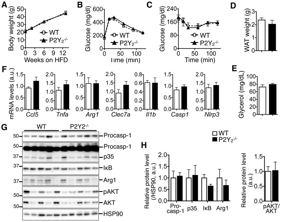 Supplementary Figure 5. Whole body P2Y 2 -ablation does not affect metabolic status of obese mice nor inflammatory status of obese WT.