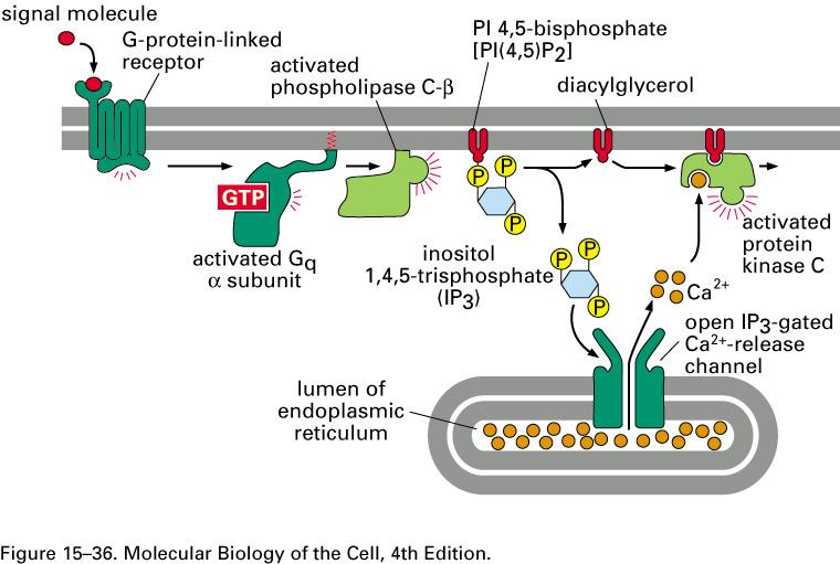 G-proteins and phospholipases Some G-proteins activate PLC (phospholipase