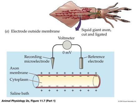 HOW NERVE CELLS FUNCTION 1. Excitable cells A. cells that can change membrane potentials 2. Resting potential A. the unexcited state B. voltage differences across the plasma membrane C.
