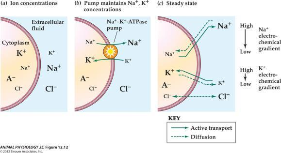 Fig 12.12b Ion pumps help maintain the concentration of major ions in intracellular and extracellular fluids 1. Active transport Na-K pumps 2.