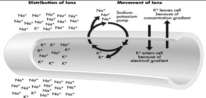 12.12c The sodium and potassium maintain a steady state for