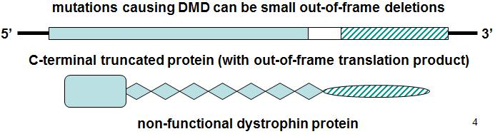 Duchenne muscular dystrophy (DMD) In contrast, in a case of DMD, a smaller out-of-frame deletion (the deletion is shown as a small white rectangle and the out-of-frame sequence is shown as a