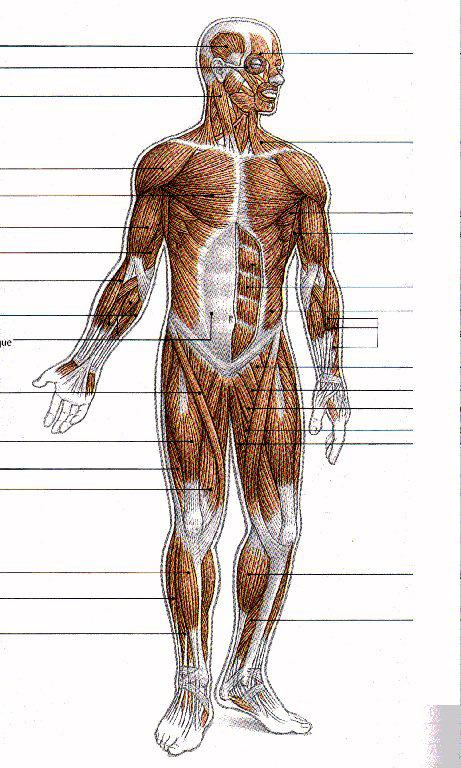 Muscle Physiology Dr Balzs Bodosi Phd Of The Total Body Mass Is