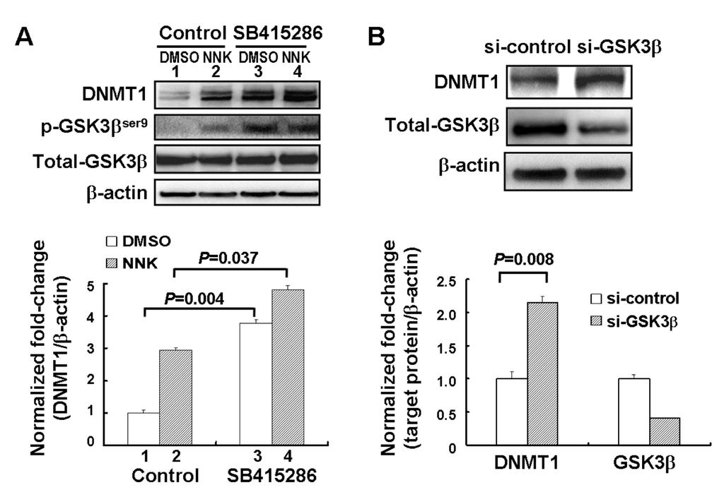 Supplemental Figure 3 GSK3β involved in DNMT1 protein degradation and the increase of DNMT1 protein level by NNK in IMR90 cells.