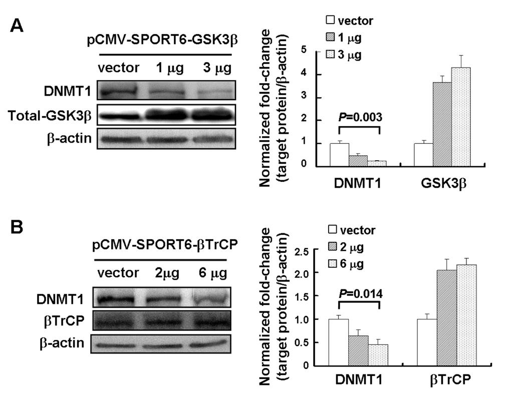 Supplemental Figure 4 Exogenous GSK3β and βtrcp induced DNMT1 protein degradation.