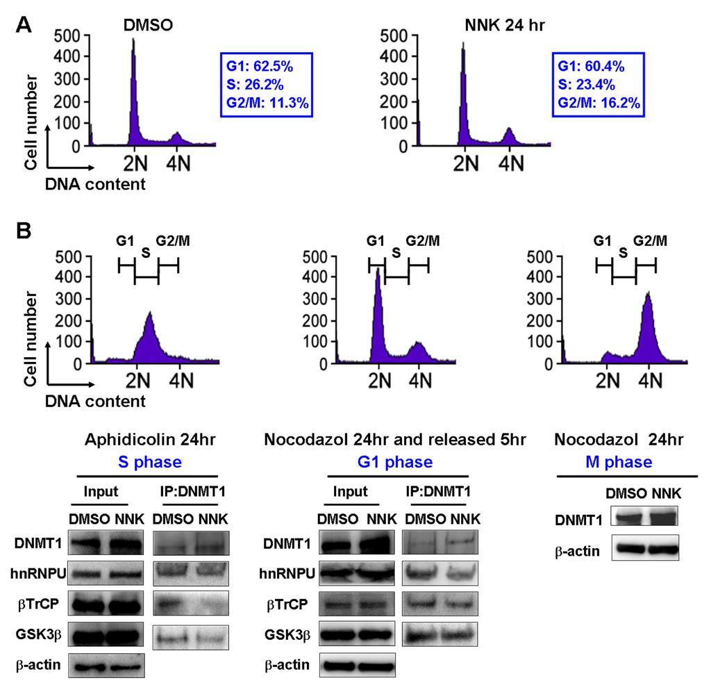 Supplemental Figure 7 NNK-induced DNMT1 accumulation by AKT/GSK3β/βTrCP/hnRNP-U signaling pathway was not due to the impact of NNK treatment on the cell cycle.