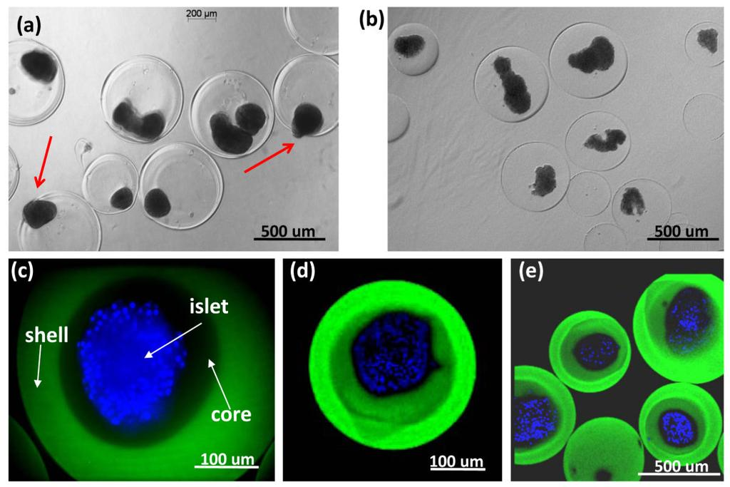Ma et al. Page 11 Figure 3. Comparison of islets encapsulated in (a) regular capsules and (b-e) core-shell capsules.