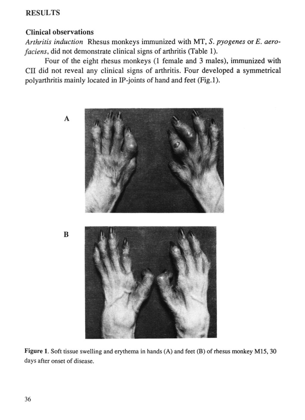 RESULTS Clinical observations Arthritis induction Rhesus monkeys immunized with MT, S. pyogenes or E. aerofaciens, did not demonstrate clinical signs of arthritis (Table ).