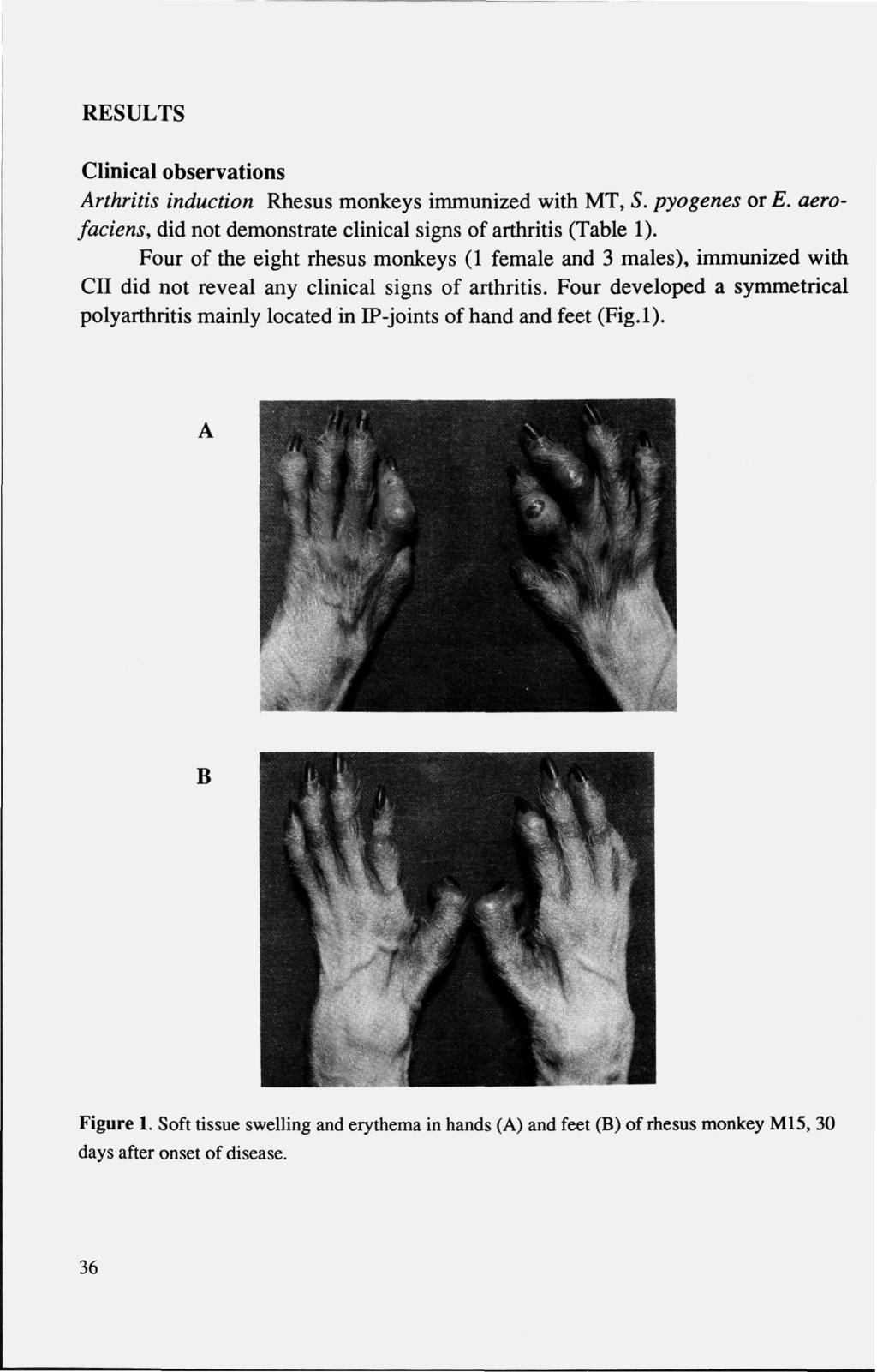 RESULTS Clinical observations Arthritis induction Rhesus monkeys immunized with MT, 5. pyogenes or E. aerofaciens, did not demonstrate clinical signs of arthritis (Table ).