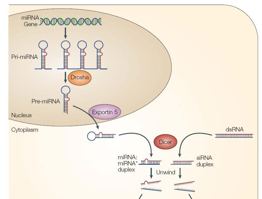 complementarity to protein coding mrna sequences induce the