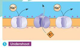 Action Potential STEP 5: The neuron is reset (REPOLARIZED) by the opening of voltage gated K + channels.