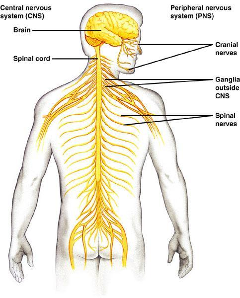 Branches of the Nervous System There are 2 main branches of the nervous system Central