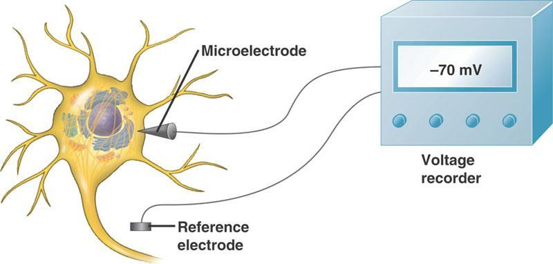 A Neuron at Rest A neuron at rest (unstimulated) has a difference in charge (voltage) across the plasma membrane = -70 mv = resting potential