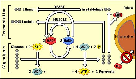 5//016 Cellular Respiration Oxidation of glucose Kreb s Cycle ETC Anaerobic Metabolism Production of ATP in the absence of oxygen Lactic acid fermentation glucose pyruvic acid lacfc acid Grand total