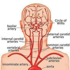 Carotid Arteries Starts at the Common Carotid Arteries and break off