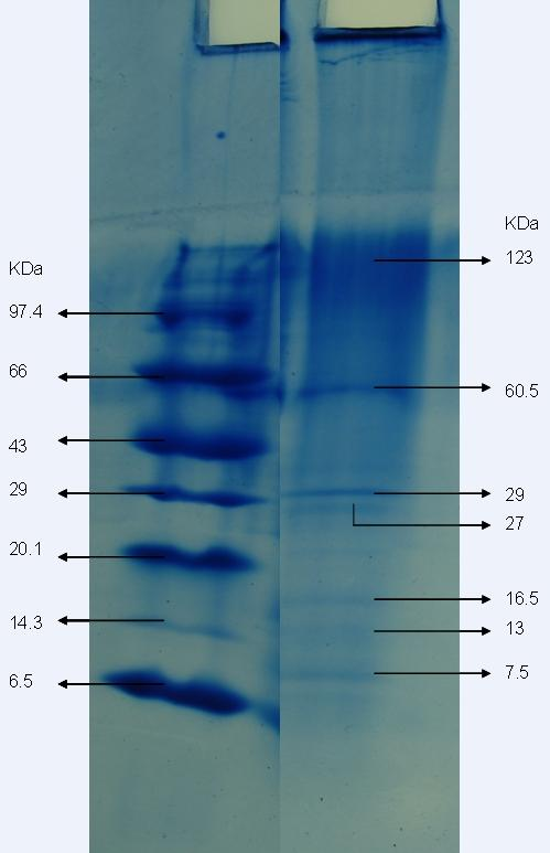 Figure VII: The SDS-PAGE electrophoresis results of aqueous extract of E. alba Lane 1 - Lane 2 - Shows the marker protein bands with their molecular weight ranging 6.50 97.
