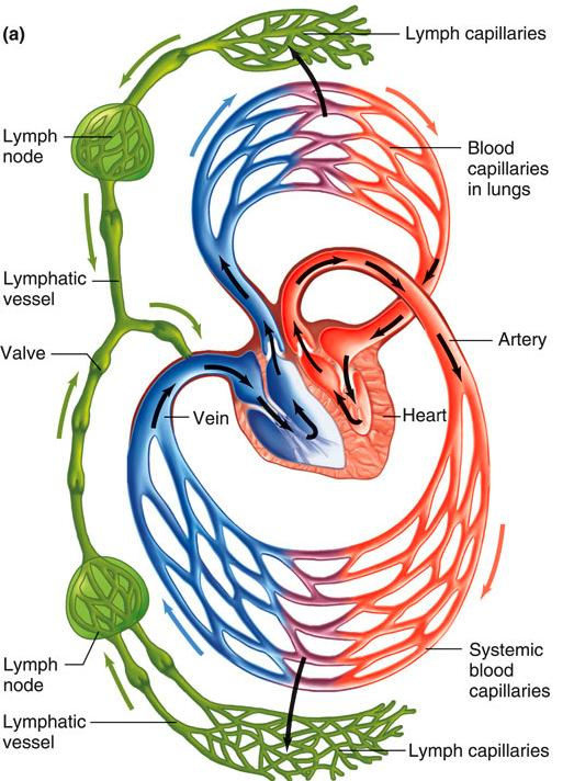 Lymphatic System Large water-filled channels permeable to all IF constituents IF enters lymphatic capillaries by