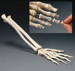 and spinal canal. 026567 Spine Model with Stand Standard Skeleton This life-size articulated adult plastic skeleton is ideal for teaching the basics of anatomy.