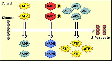 GLYCOLYSIS 1 molecule of glucose is converted into 2-3carbon molecules of Pyruvic Acid and a small amount of ATP and NADH If Oxygen is present, Pyruvic Acid is