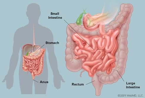 Yang Small Intestine - The functions of the TCM Small Intestine The Small Intestine receives the food and drink which has been transformed by the Stomach, its function is to further separate the