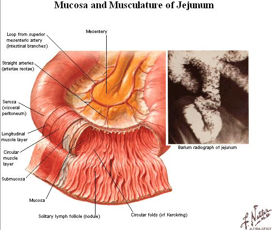 JEJENUM AND ILEUM Infront and lateralward jejenum and ileum is covered by the great omentum (omentum majus) The mucous membrane presents the special structur : Plica circularis (Kerckring) : - the