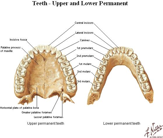 According to form of the tooth are distinguished : Crown (corona dentis) thickest part projecting