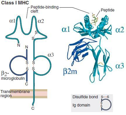 The adaptive immunity MHC-I Each MHC-I molecule: Is made of an a chain (44-47kD) transcribed from HLA class-i genes and the b2-microglobulin (12kD). Has polymorphic regions in a1 and a2 domains.