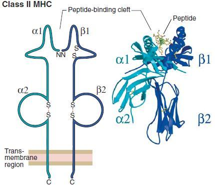 The adaptive immunity MHC-II Each MHC-II molecule: Is made of an a chain (32-34kD) and a b chain (29-32kD). Both a and b chains are transcribed from HLA class-ii genes.