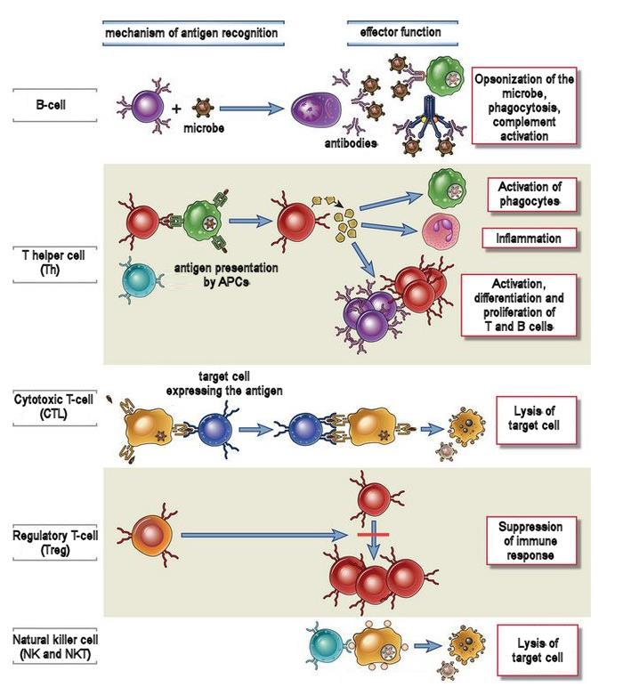 The adaptive immunity cells Humoral immunity Wide variety of effects mediated by