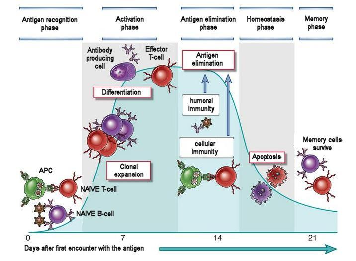 The adaptive immunity time-course Note that T- and B- cells which have never seen an antigen are called naïve.