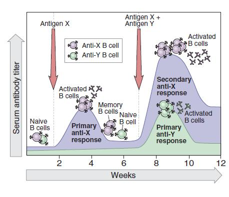 The adaptive immunity primary and secondary reactions The advantage of memory cells is that they live for a long time and that they are already armed against the same pathogen.