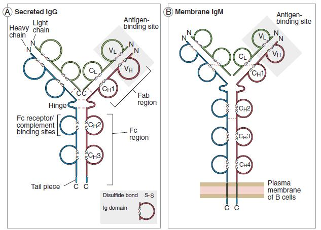 Adaptive immunity overview of the immunoglobulins (Ig) All Ig have a similar structure, but they display an enormous variability in the antigens that they can recognize.