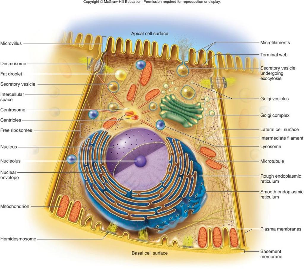 Basic Components of a Cell Plasma (cell) membrane Surrounds cell, defines boundaries Made of proteins and lipids Cytoplasm Organelles Cytoskeleton Inclusions