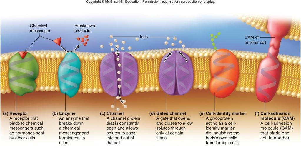 Membrane Proteins Functions of membrane proteins include: Receptors, second-messenger