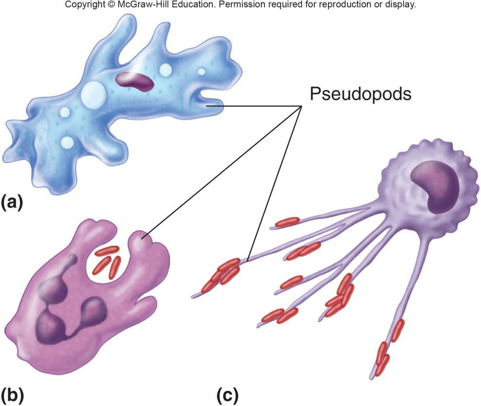 Pseudopods Pseudopods continually changing extensions of the cell that vary in shape and