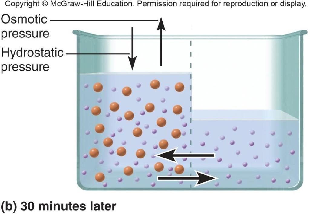 Osmosis Osmotic pressure hydrostatic pressure required to stop osmosis Increases as amount of nonpermeating solute rises