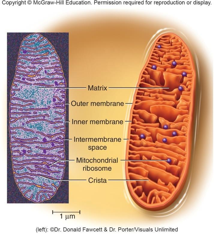 Mitochondria Mitochondria organelles specialized for synthesizing ATP Continually change shape from spheroidal to thread-like Surrounded by a double membrane Inner membrane has folds called cristae