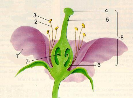 Gregor Mendel Mendel had a collection of true-breeding pea