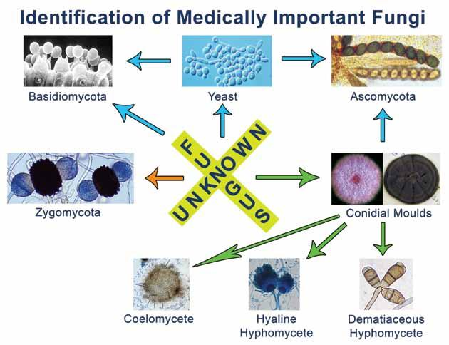 xii Descriptions of Medical Fungi Schematic for the identification of medically important fungi.