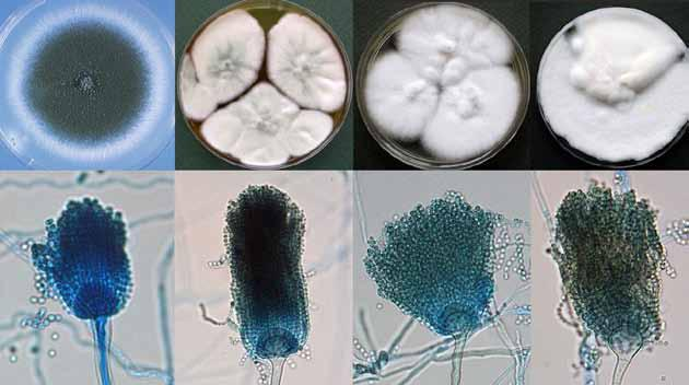 12 Descriptions of Medical Fungi Aspergillus Micheli ex Link Aspergillus is a very large genus containing about 250 species, which are currently classified into seven subgenera that are in turn